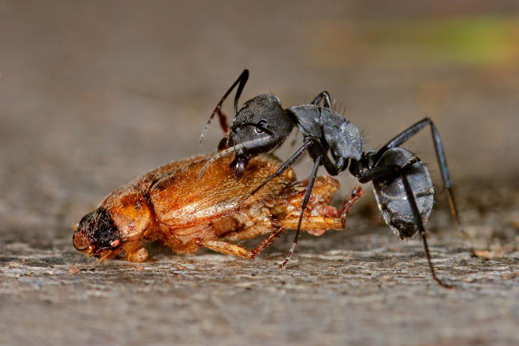 Hormiga comiendo escarabajo