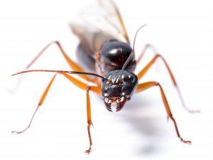 Hormiga reina alada