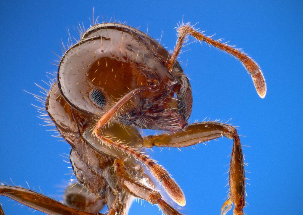 hormiga-de-fuego-o-solenopsis-invicta