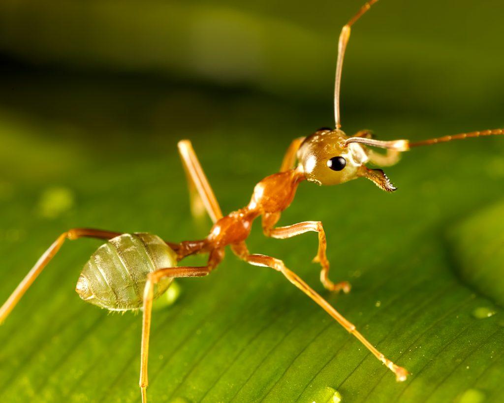 hormiga verde en hoja
