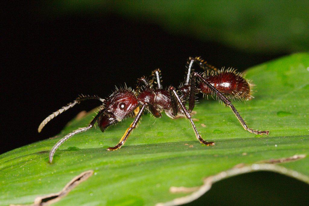 Hormiga bala (Paraponera Clavata)