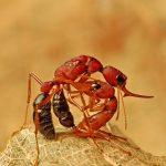 Hormiga Carnívora