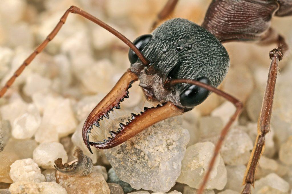 Hormiga gigante australiana o bulldog