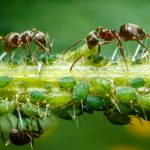 hormigas en tallo